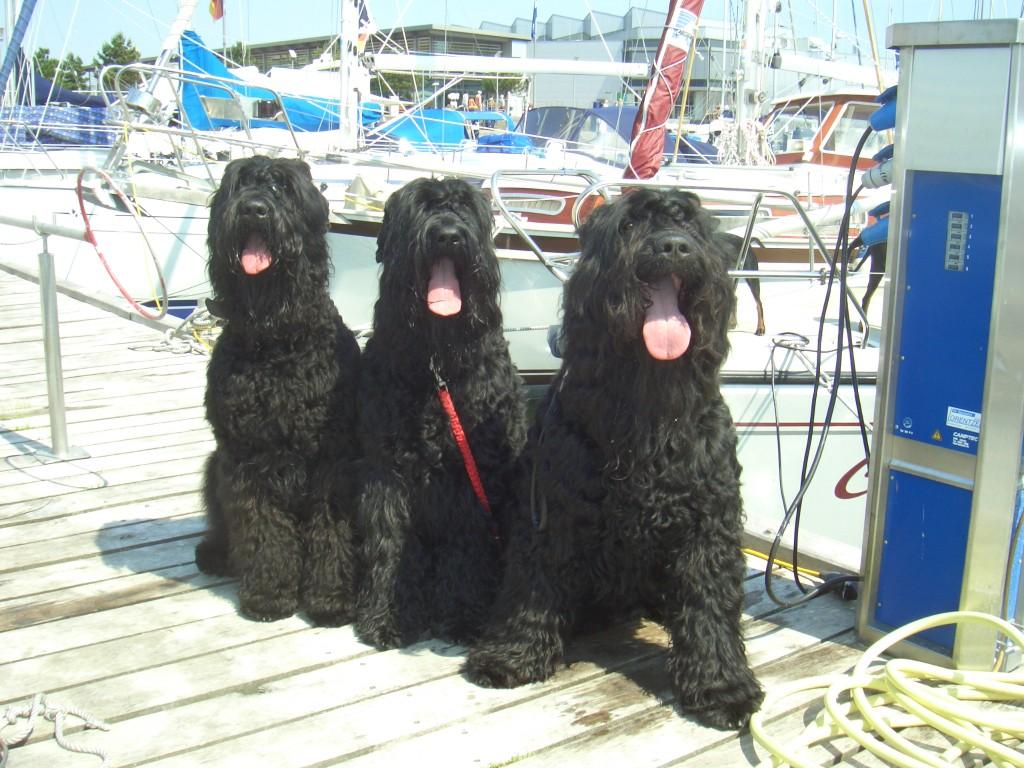 Damp (Ostsee)  Besuch von den Schwarzen Russischen Terriern