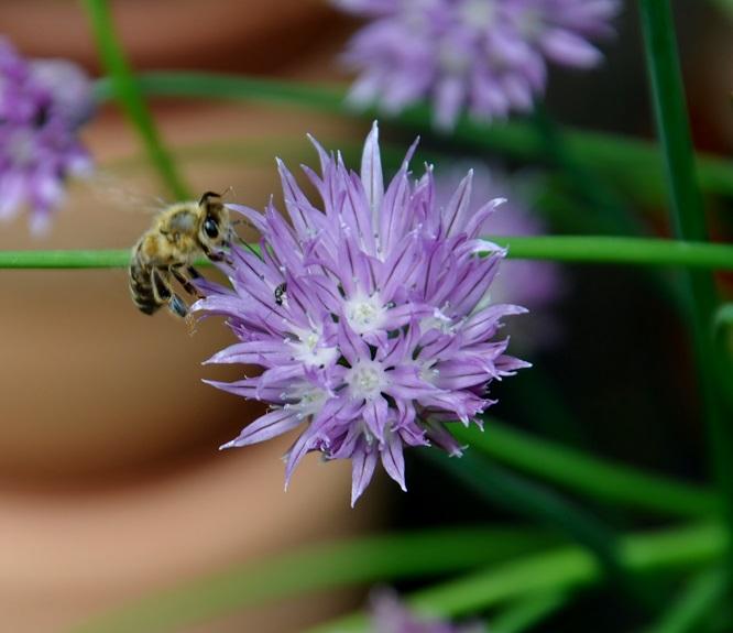 Schnittlauch-Büte mit Biene
