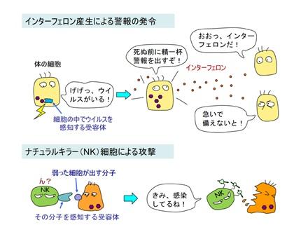 自然免疫システムの仕組み