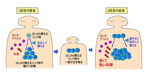 獲得免疫システムでは2回目の感染時に速やかに対応できる