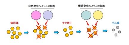 自然免疫システムと獲得免疫システムで病原体と戦う