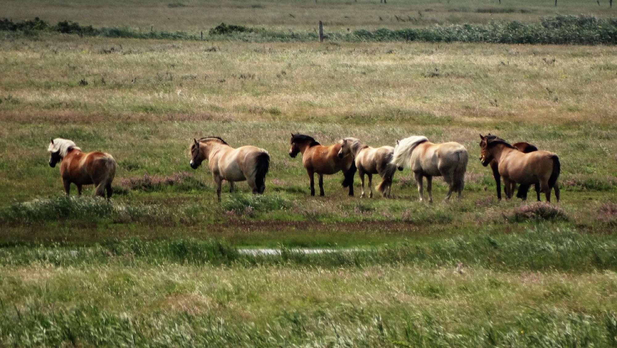 Urlaub an Ostsee und Schlei - Pferde in der Geltinger Birk