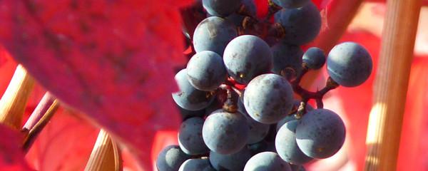 Weingut Ruzika in Edesheim Rebsorten