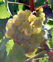 Weingut Ruzika, Scheurebe