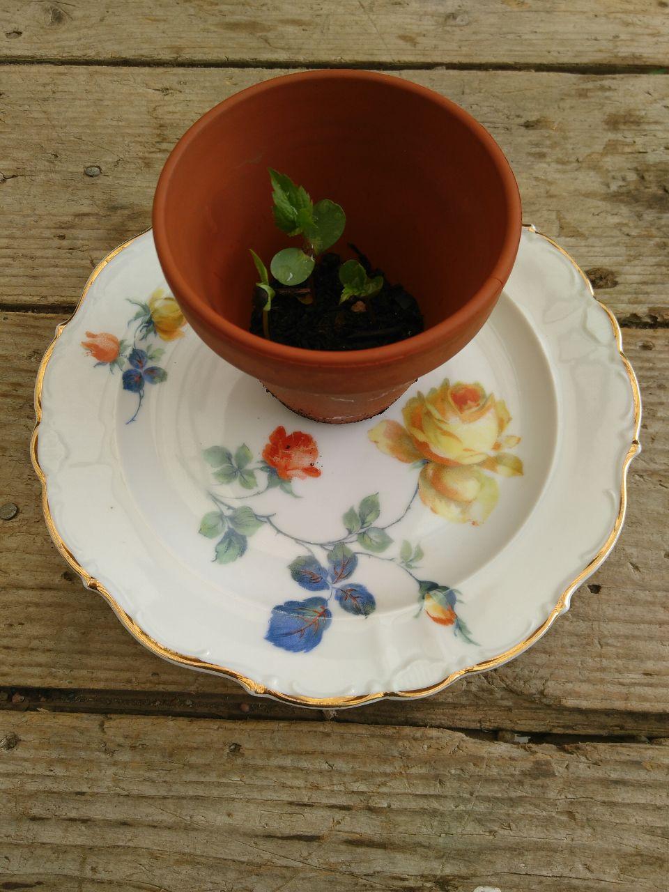 """Keimling - Blüte - Frucht. Werden und Vergehen. Unser Teller macht Halt im Sihltal, in der Nähe von Zürich. Bei dem Keimling handelt es sich um eine alte Kultursorte namens """"Berner Rose""""."""