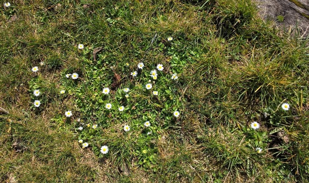 Bellis bellis fait le printemps