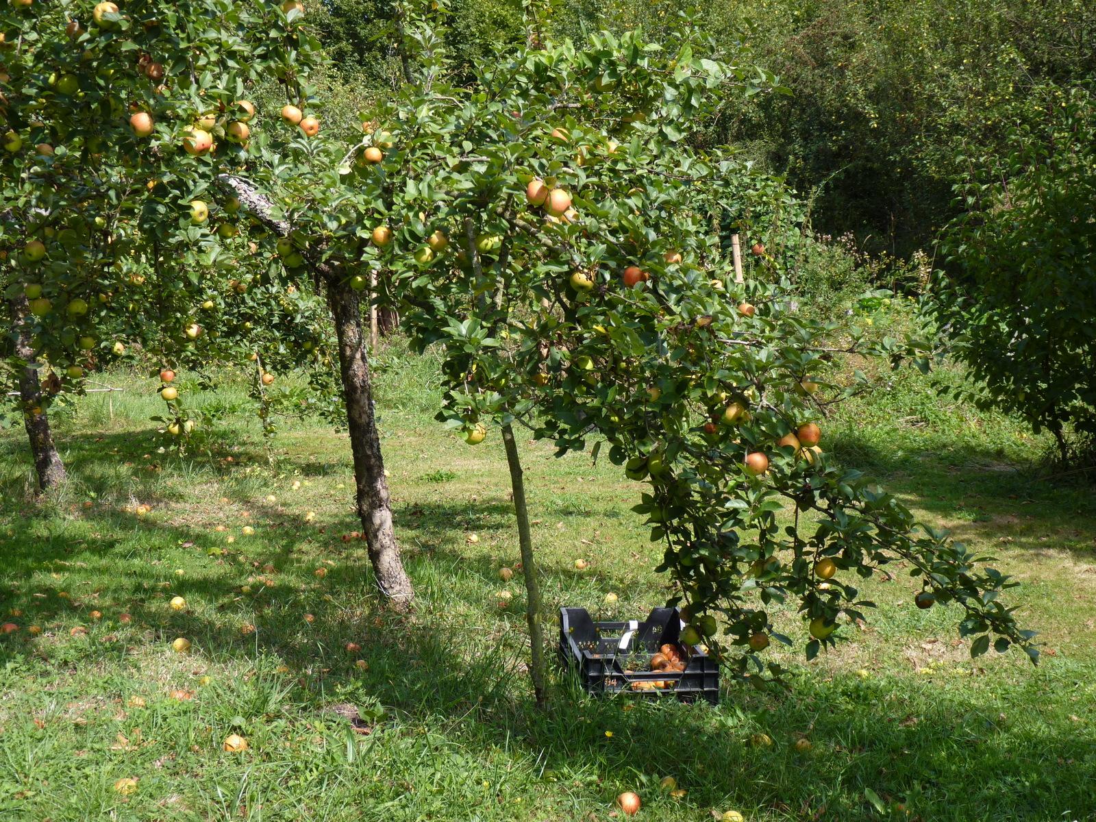 A l'automne , les pommes sont à ramasser