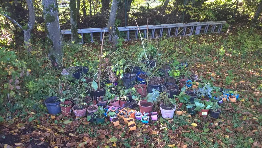 les plantes sont mises en pots