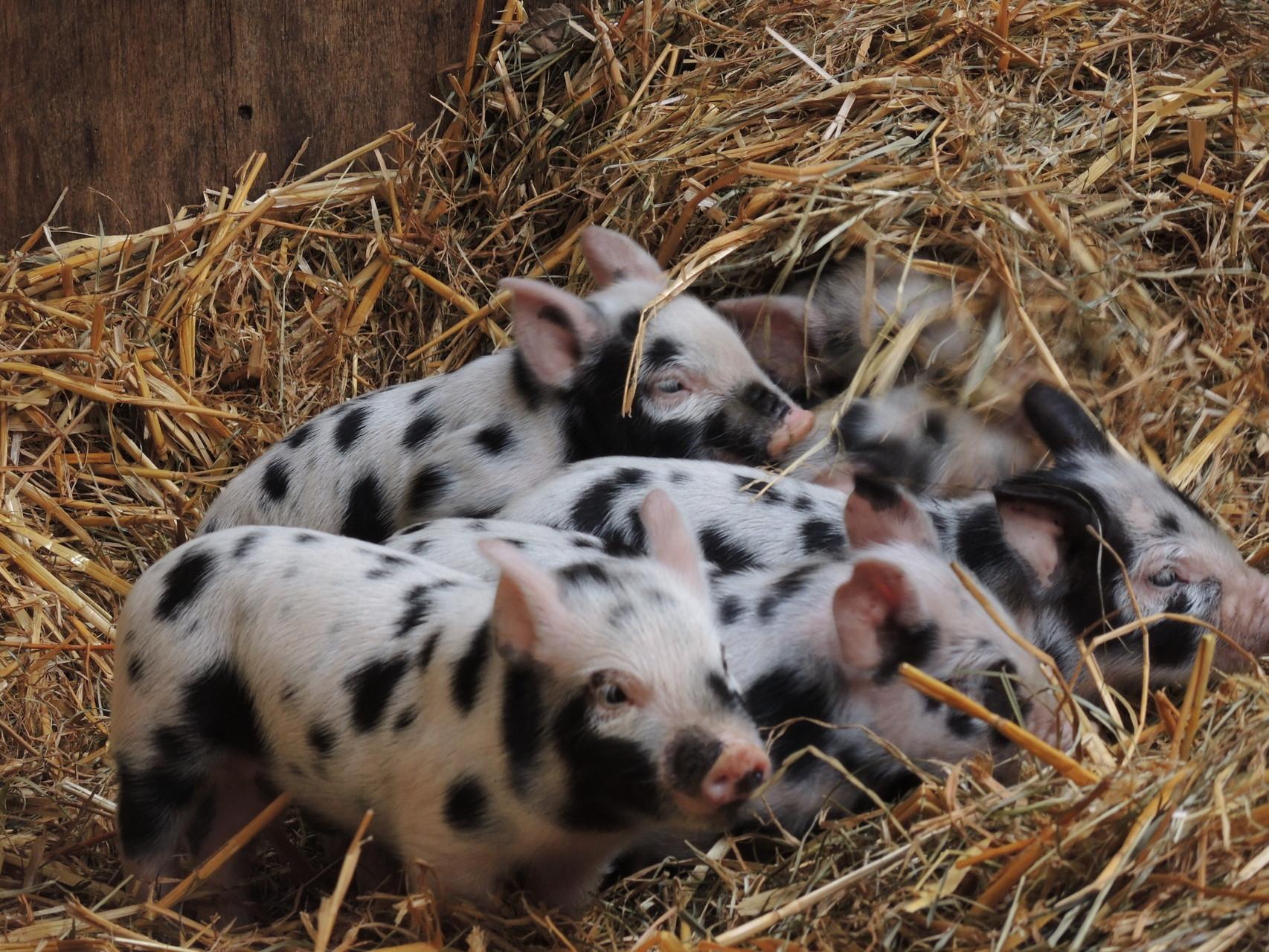 .......deren Lütten sind für das Schweine-Leasing freigegeben