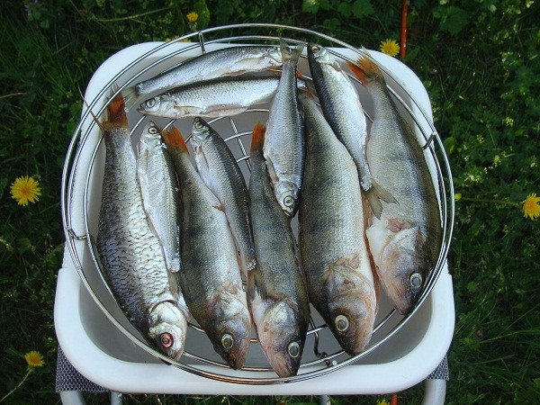 Hier noch mal die getrockneten Fischis