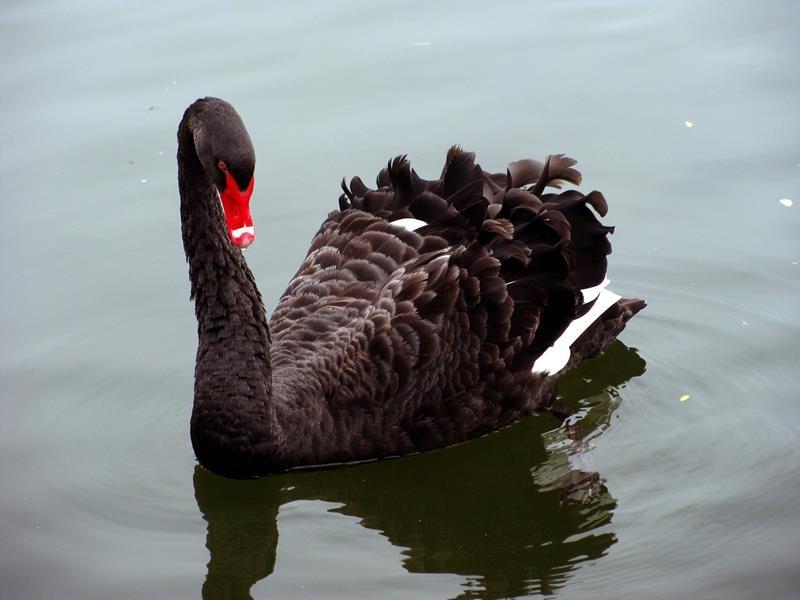So wird der schwarze Schwan genannt und war auch schon im Fernsehen.