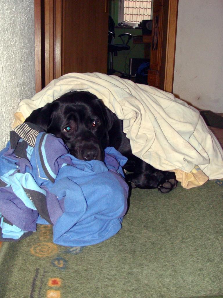 Labbi auf Bettwäsche - da ist es so schön kuschlig. Auch zugedeckt bleibt er entspannt liegen.