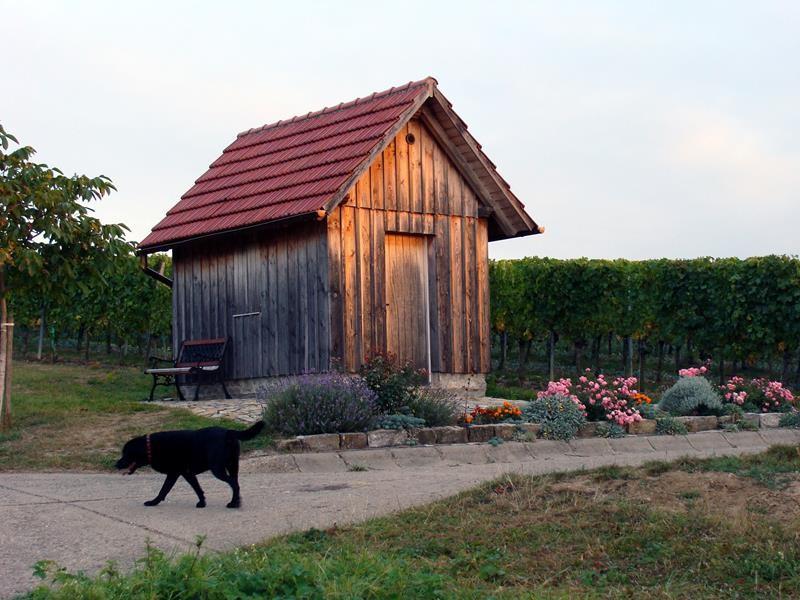 Morgenspaziergang in den Weinbergen
