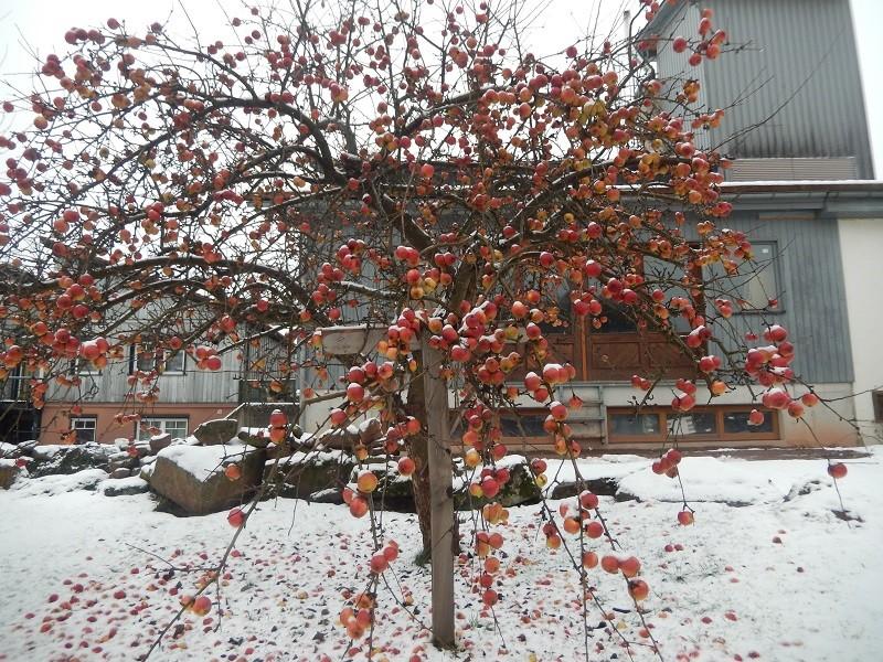 Ein Naturweihnachtsbaum mit Äpfel geschmückt
