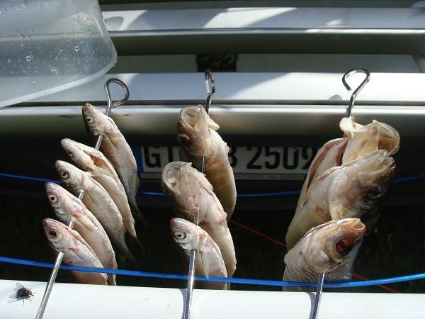 Nach dem säubern hab ich die Fische zum Trocknen aufgespießt und am Fahradträger aufgehängt