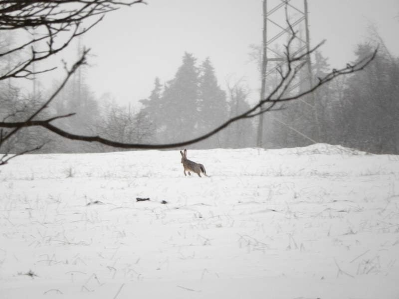 Kaum ist der Fuchs weg, springt von rechts eine Hase aus der Hecke und jagt an uns vorbei.
