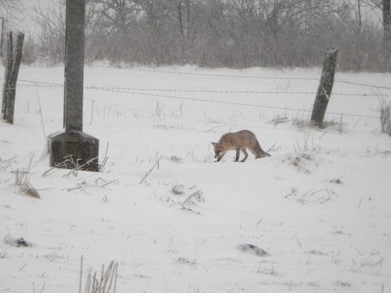 Dann sehen wir doch noch einen Fuchs.