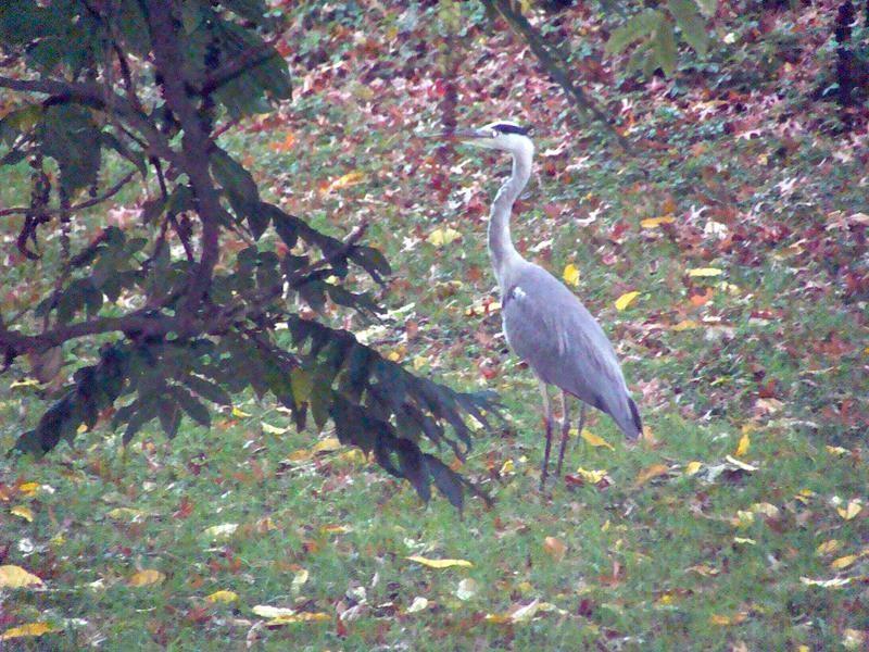 Am nächsten Morgen spaziere ich mit Basco durch den Kurpark und sehe einen Graureiher