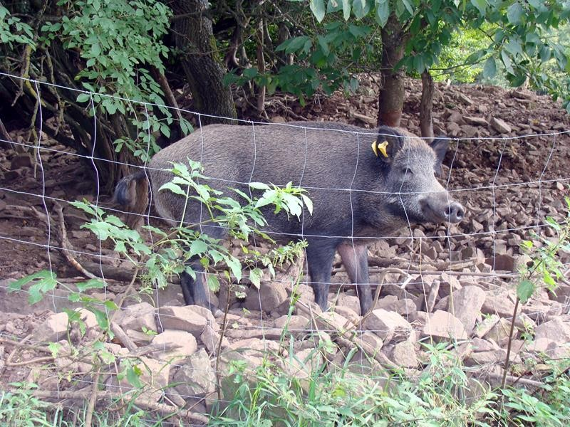 Sogar ein Wildschweingehege gibt es hier.