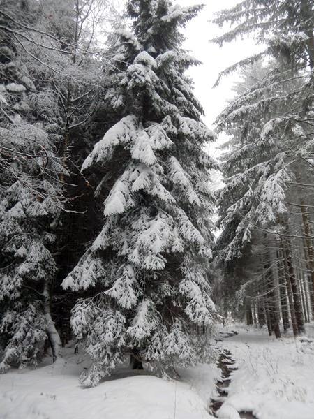 Schwer hängt der angetaute und erneut gefrorene Schnee an den Bäumen