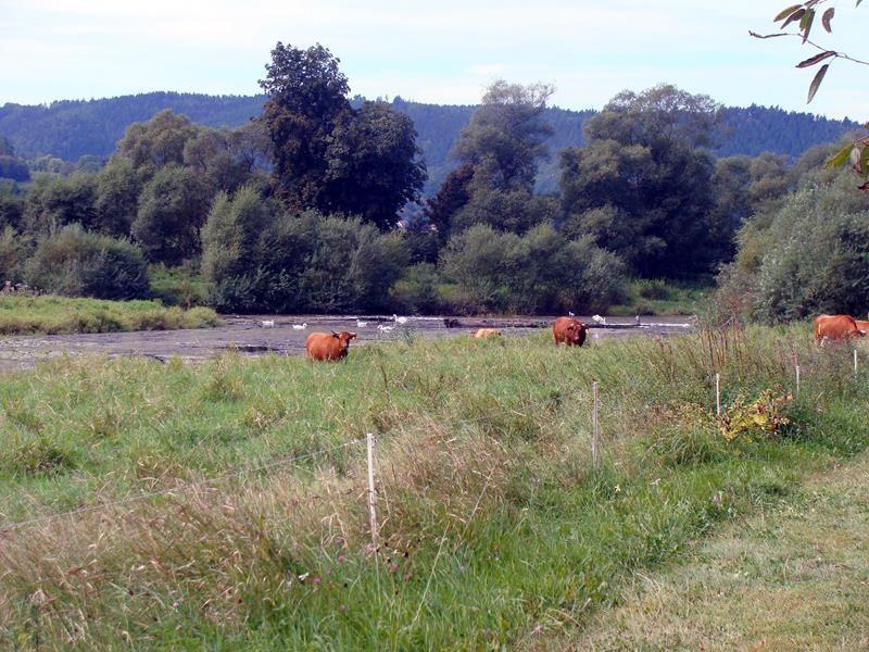 Am Fluss findet man außer Schwänen und Graureihern auch noch Rinder, die hier grasen.