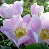 R. marginata