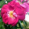R. pendulina 'amadis'