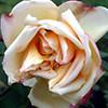 Rosa Supino
