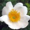 R. Clinophylla