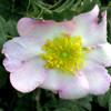 R. Roxburghii 'Normalis'