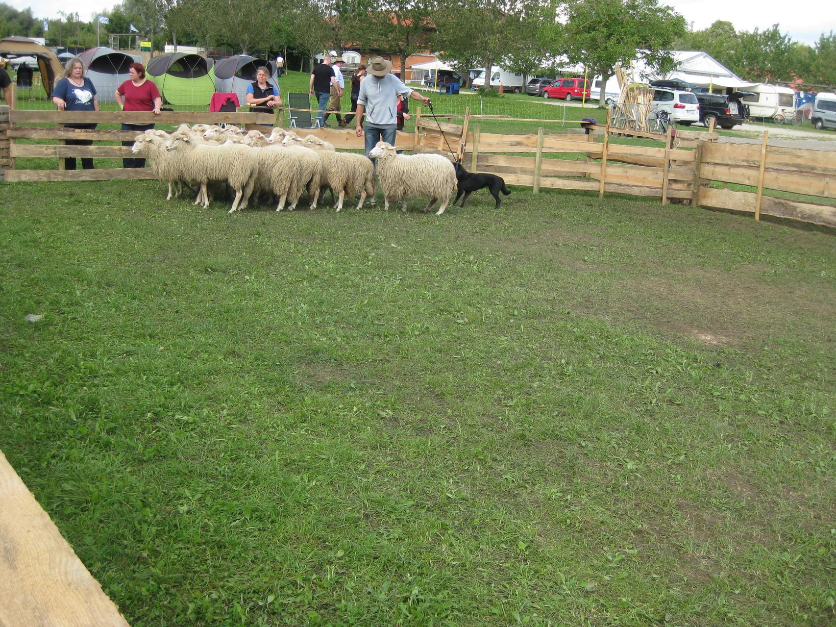 Von Hinten an die Schafe, dann bleibt Ayra auch ruhig.