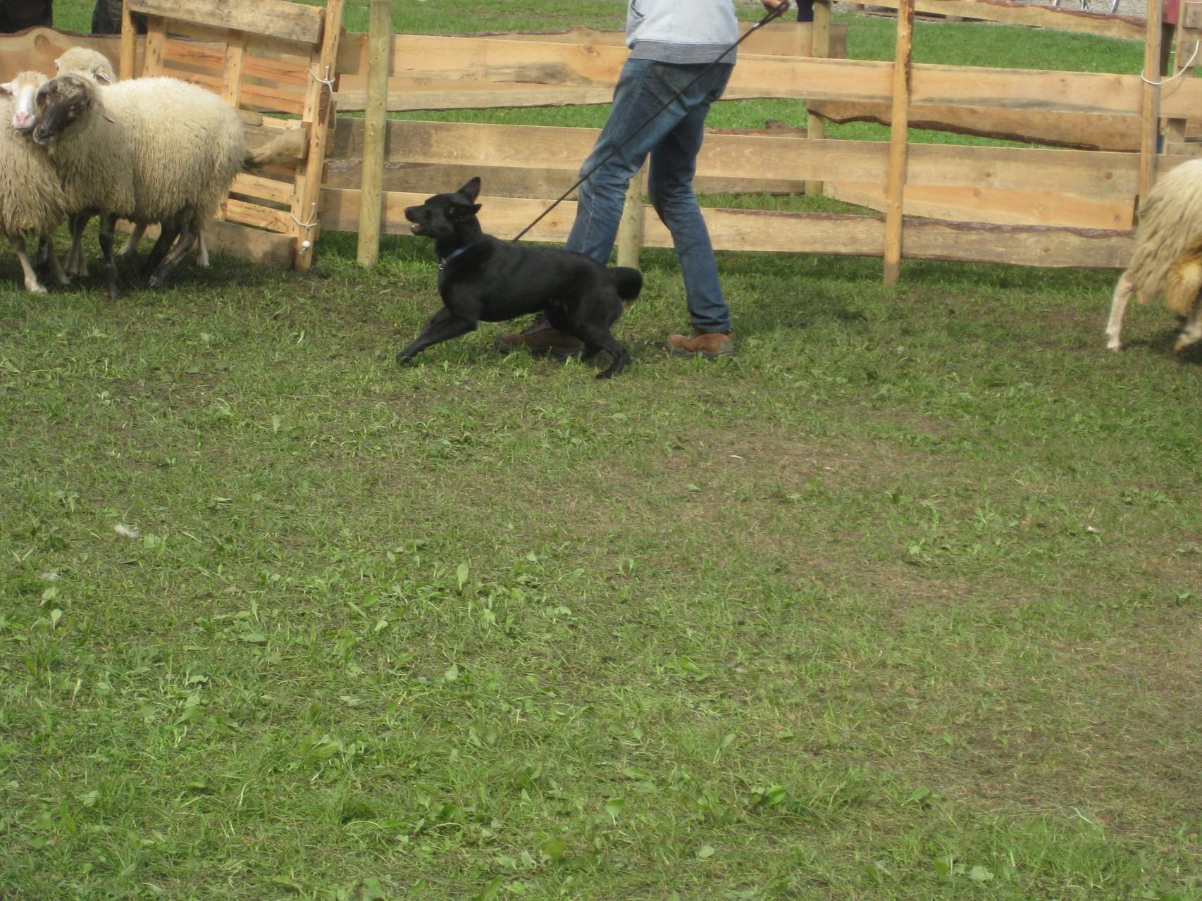 Wenn ein Schaf oder die Herde auf Ayra zukamen, dann ging sie auch nach vorne.