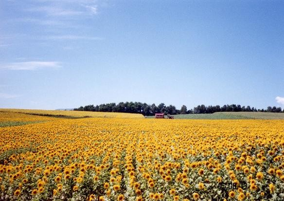 北竜町ひまわり畑(2001年8月)
