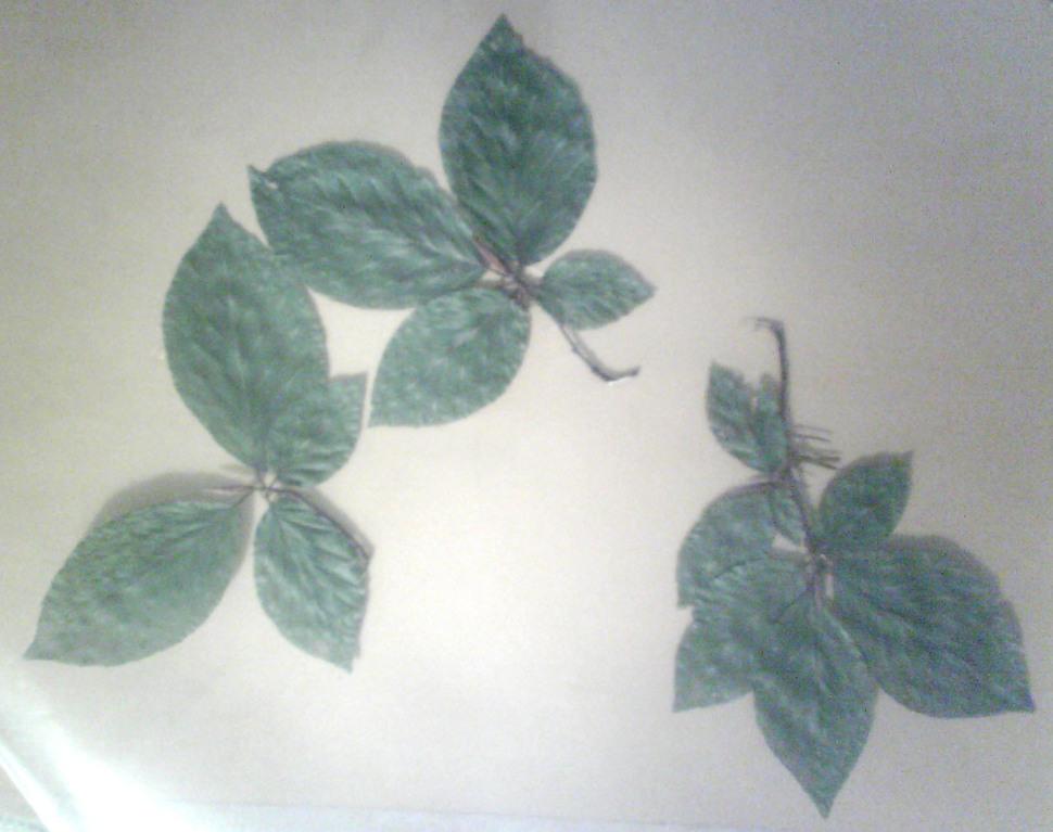 Gepresste Jungbuchenblätter, Schattenlage