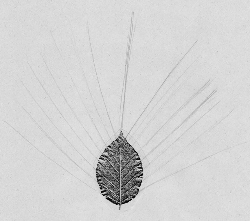 Gepresstes Buchenblatt, Fotokopie: symmetrische, flache, gerade Blattadern