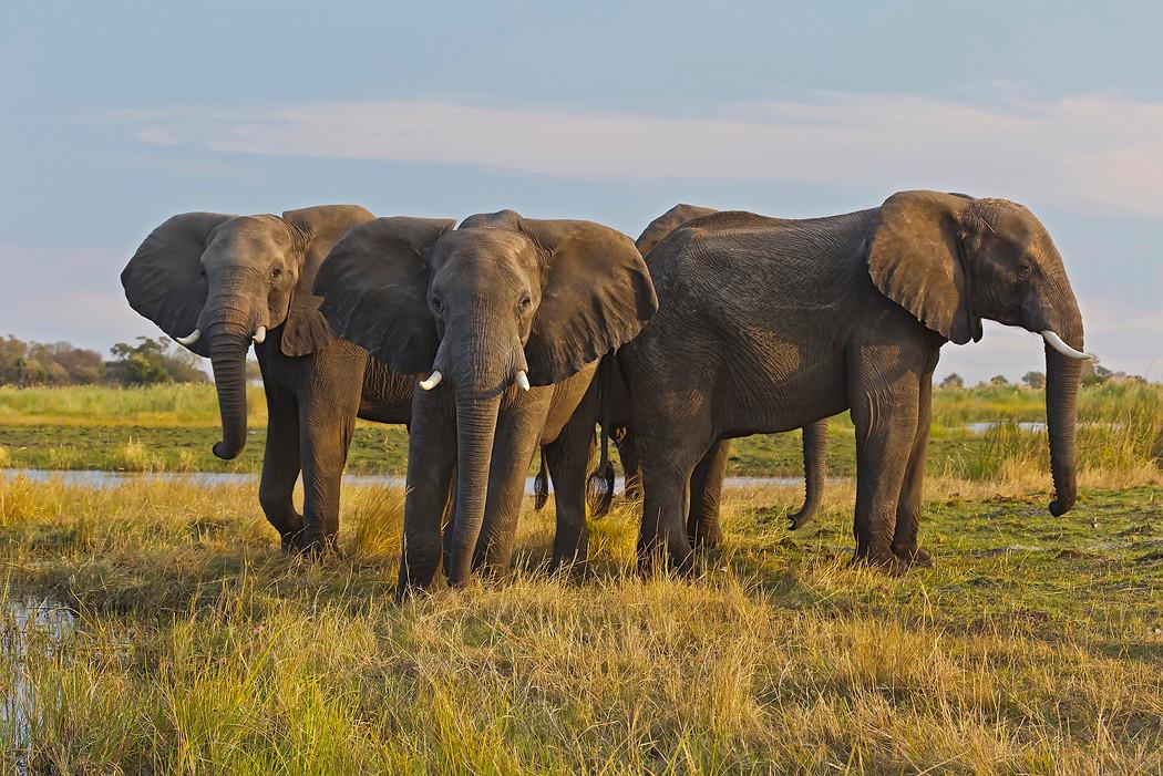 Elefanten am Kwando (Nord-Namibia)