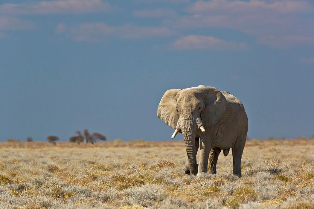Elefantenbulle im Etoscha-NP