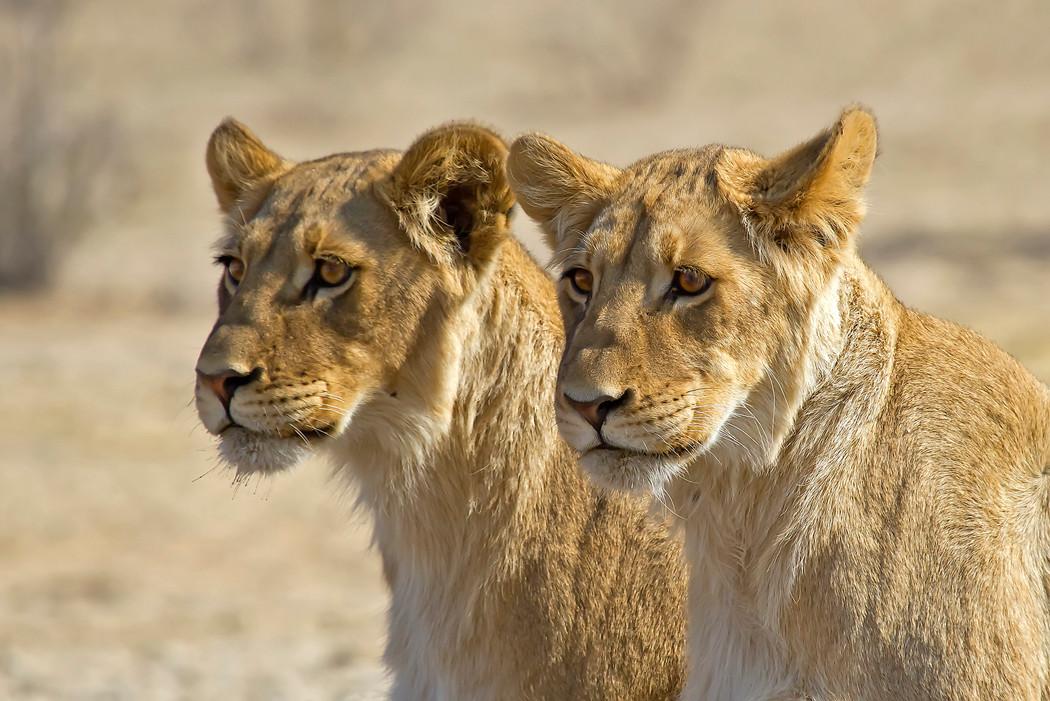 Löwen in Kgalagadi-NP