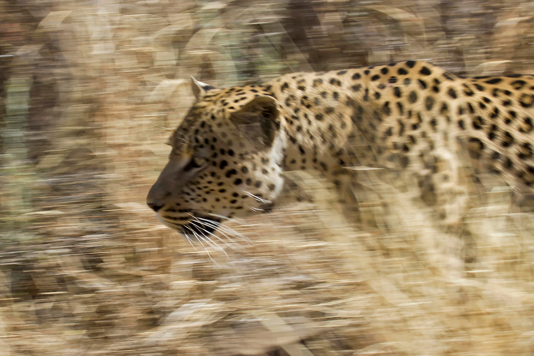 Leopard auf Futtersuche