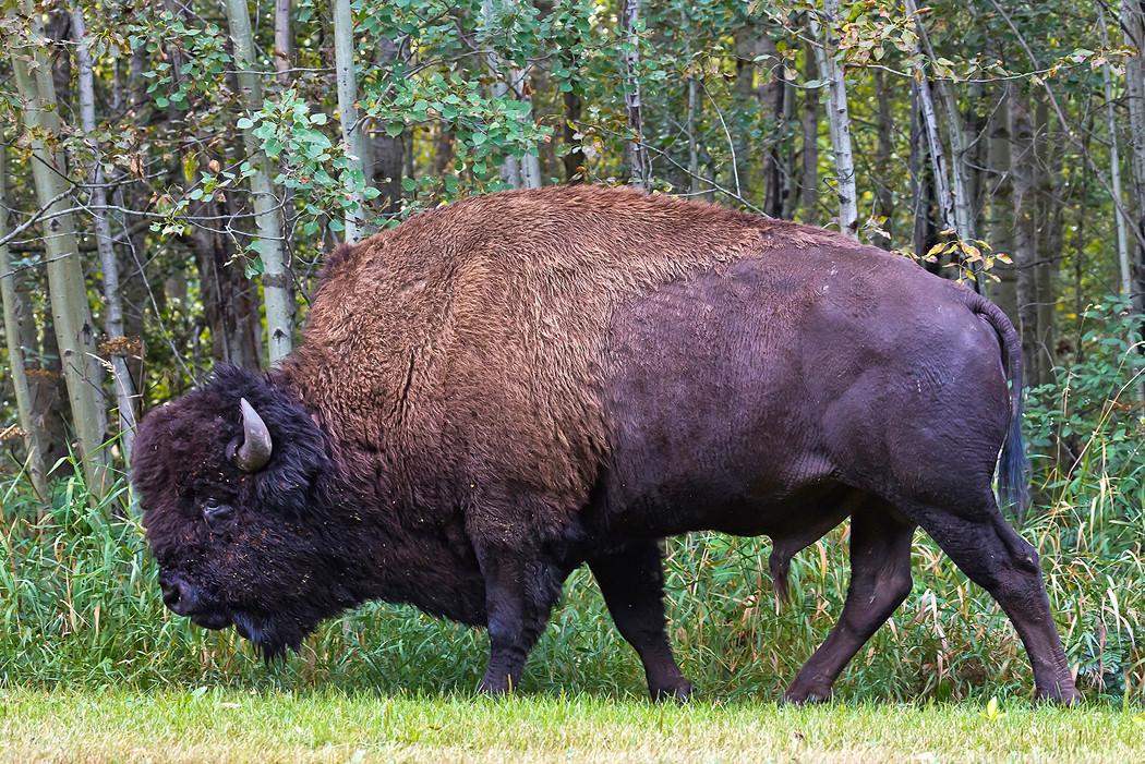 Ein kapitaler Bison