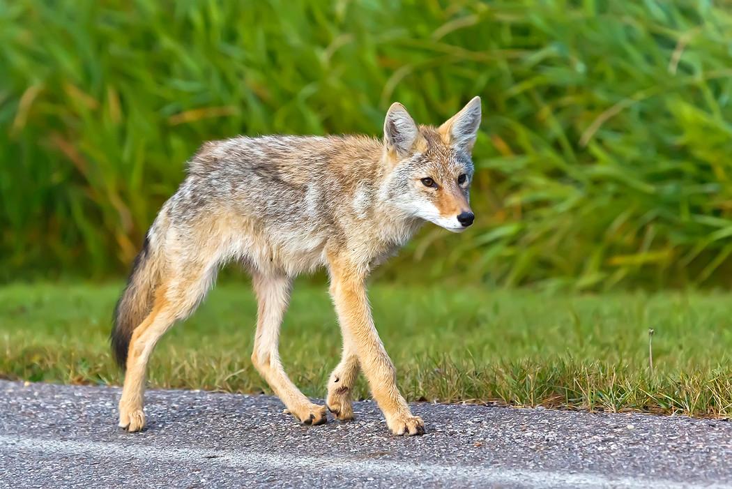 Ein Coyote