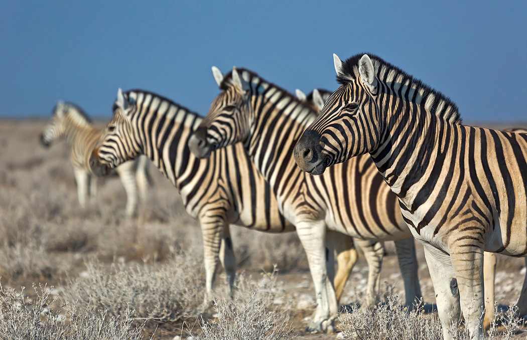 In Reih und Glied: Zebras in Etoscha