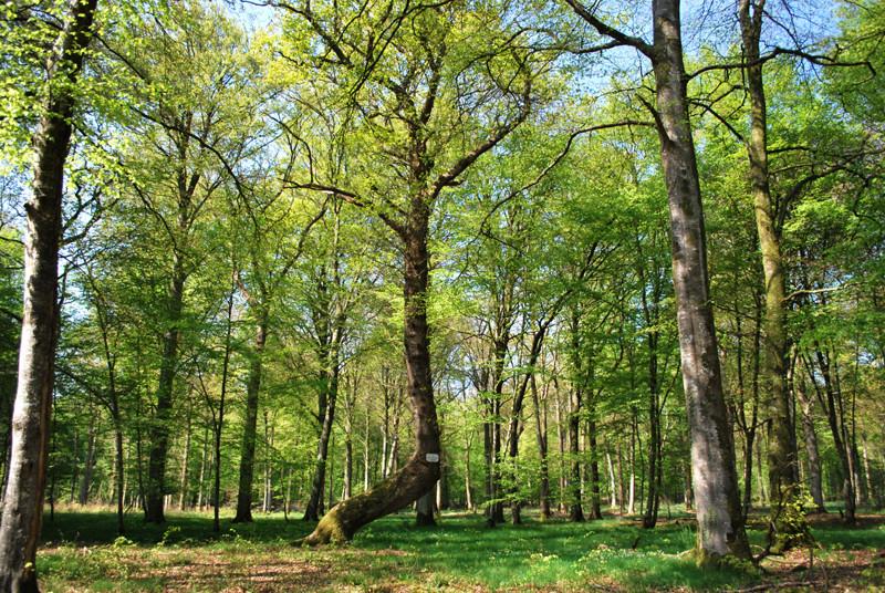 Forêt de Crécy: le Revenant