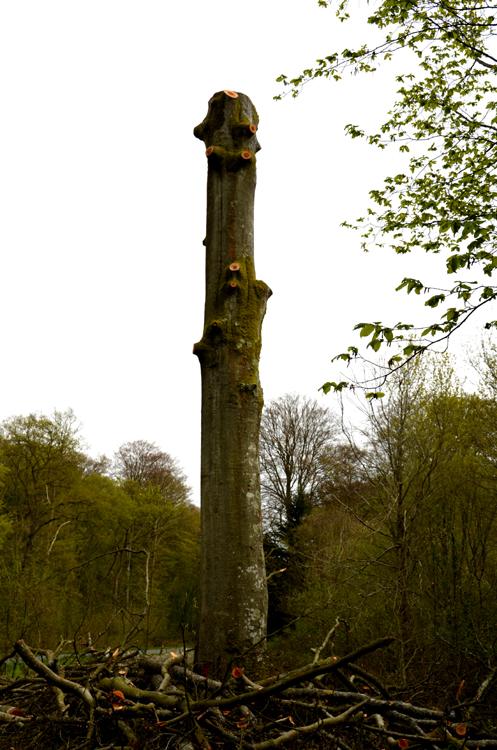 Un des arbres de la forêt de Crécy qui va servir de support à une sculpture