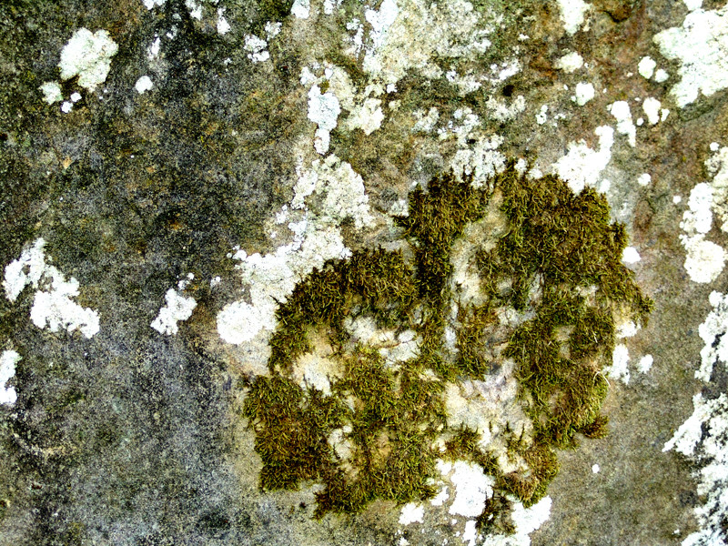 L'alignement d'Eppeville- détail de la pierre qui pousse
