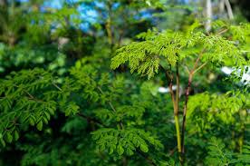 Moringa (bio-calidad) - 100%  Moringa Oleifera polvo de hoja