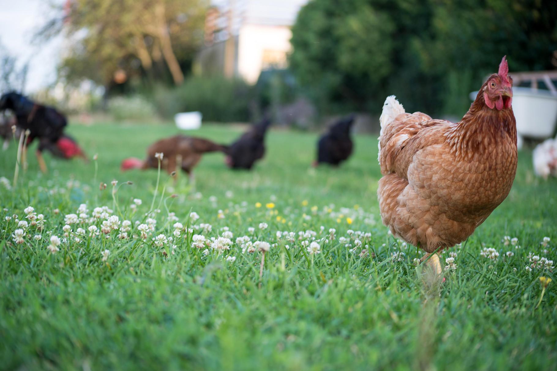 Du träumst immer schon von eigenen Hühnern?