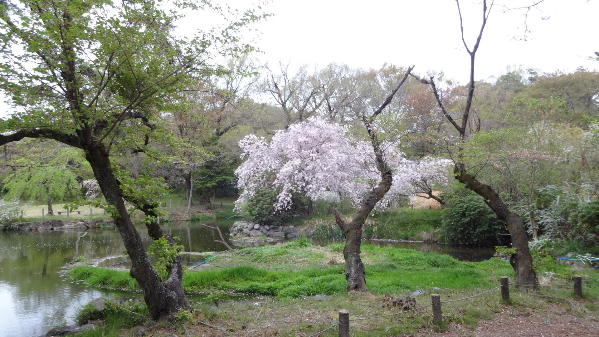 森林公園の桜!綺麗です。