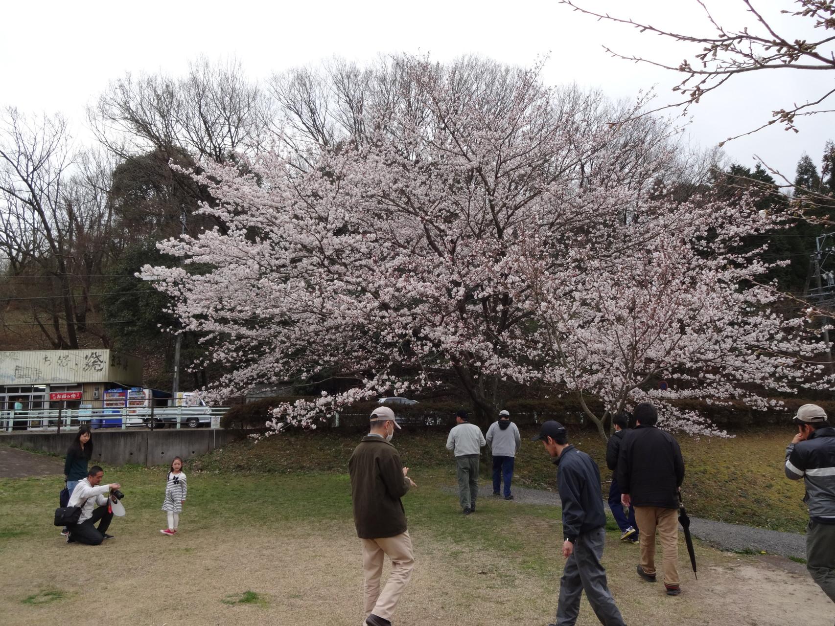 定光寺公園の桜。きれいに咲いています。