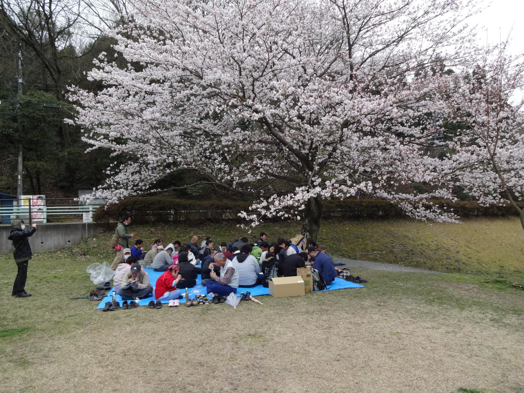 大きな桜の木の下で食べました。